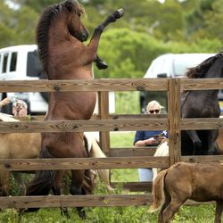 Wild ponies from the southern herd rear up as they tangle with each other in rest in pens on Assateague Island, Va., after being gathered and given a vet check before their swim to Chincoteague Island on Sunday, July 21, 2019.