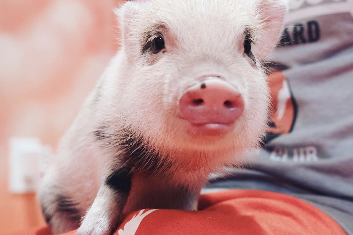 Teacup Pigs Are Popular On Youtube And Instagram Once Again But Be Warned The Verge