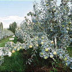 Comice pear trees are loaded with fruit in an orchard in Medford, Ore., that Bear Creek hopes to have certified as organic.