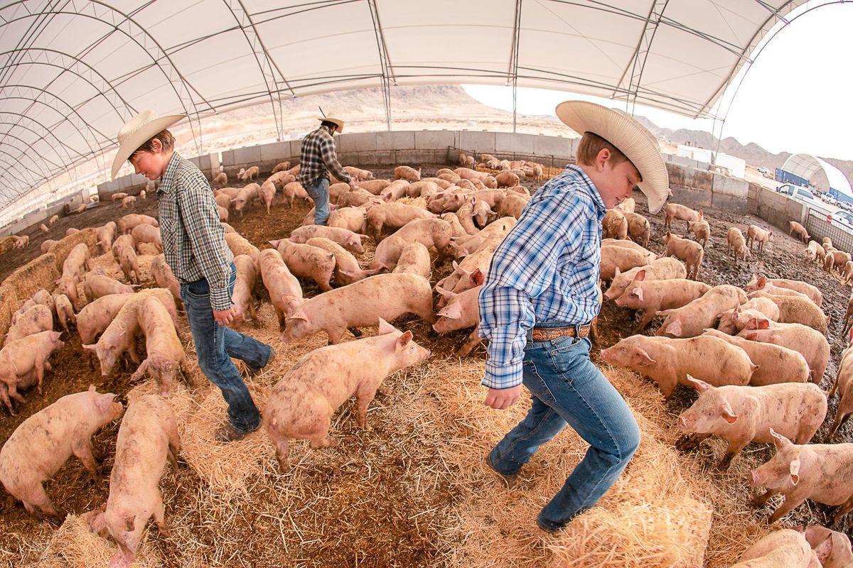 Kids walk around pigs