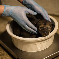 Four critically endangered red wolf pups were born at the Lincoln Park Zoo in April.   Christopher Bijalba/Lincoln Park Zoo