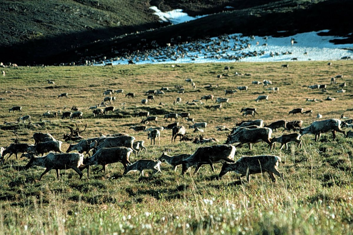 The Tax Bill Opens Arctic National Wildlife Refuge To Drilling Vox Carter Fuel Filters Caribou Graze In Us Fish And Service Getty Images