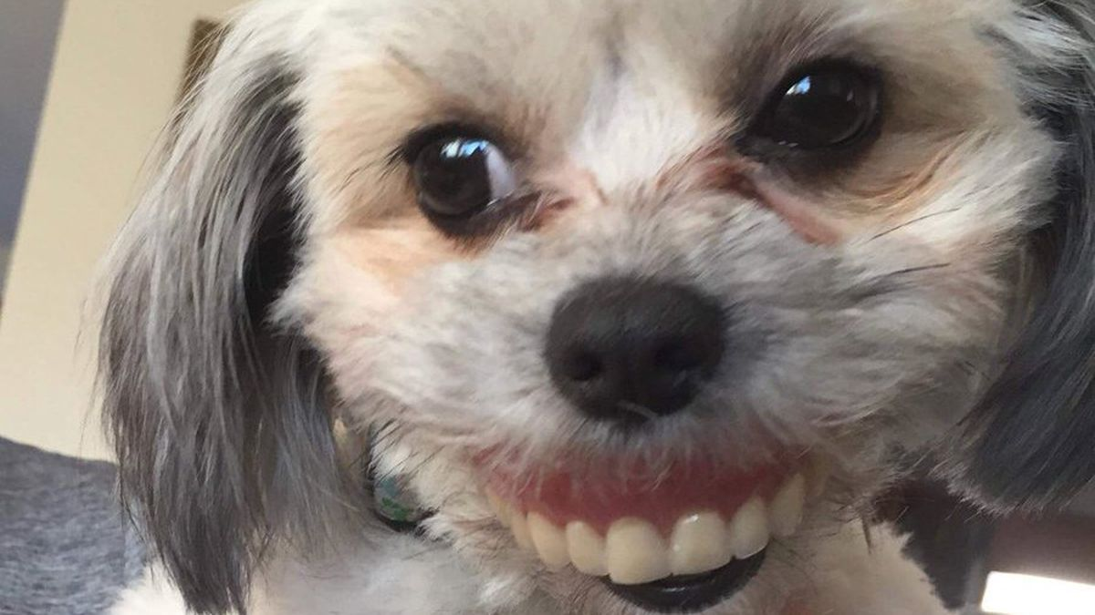 This Dog Stole Her Human S Dentures And I Am In Tears Funny Or Die