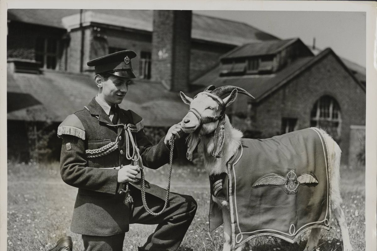 Welsh Mountain Goat Mascot Of The R.A.F. Gets Ready For The V-Parade
