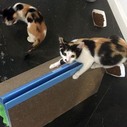 These calico siblings were hoping to head off to their forever home.