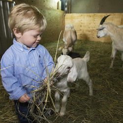 ADVANCE FOR USE SUNDAY, APRIL 1 AND THEREAFTER - In this photo taken March 23, 2012, 15-month-old Ryder Conrady, son of Brett Conrady, the owner of the Cro'Hurst Farm in Elkhart, Ill., enjoys a visit with the goats at the farm. Brett and farm business partner Gillette Ransom only have 25 head of goats after a year of diligent ranching, but that's because they've already sold some, and they do have seven nannies (female goats) expecting more kids.