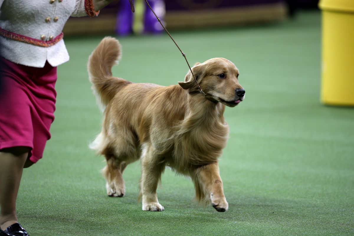 2020 Westminster Kennel Club Dog Show held in New York City at the Madison Square Garden on February 11, 2020.