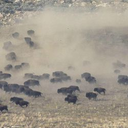 Bison create a dust storm as they run during the 27th annual Bison Range Ride and Roundup at Antelope Island on Friday, Oct. 25, 2013.
