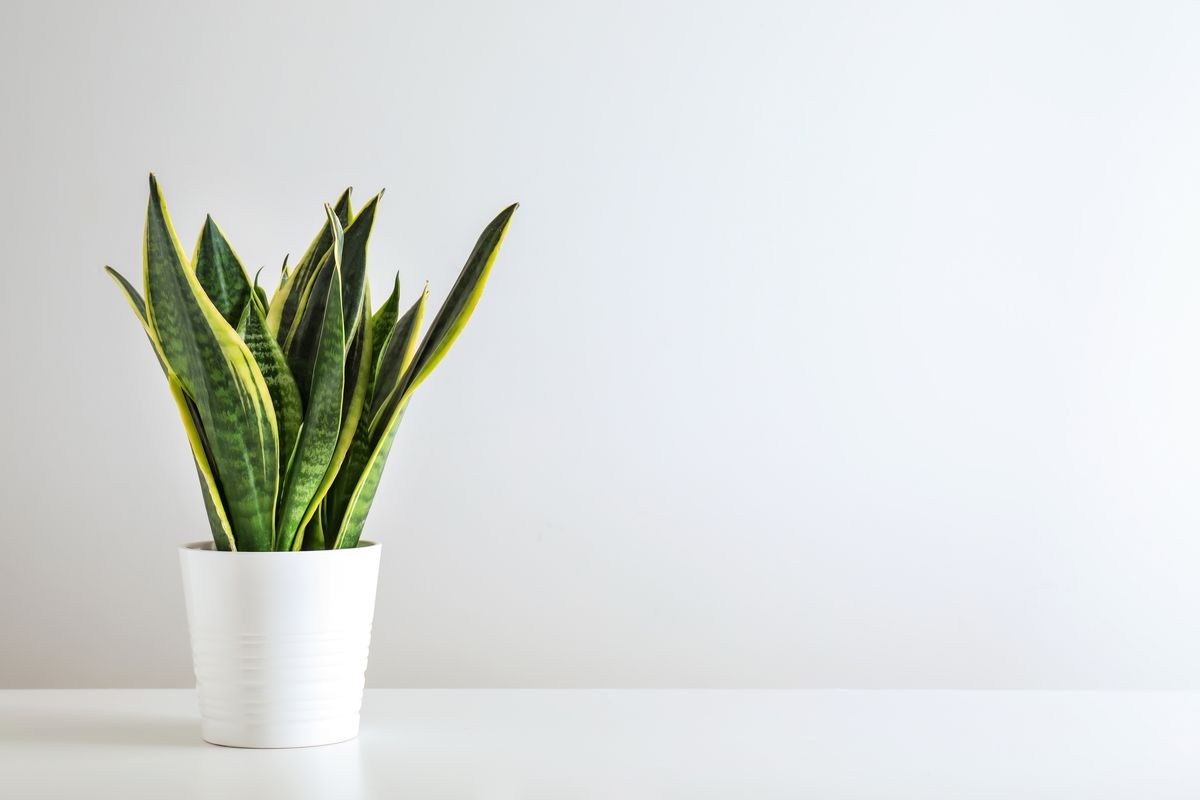 House Plants, Snake Plant