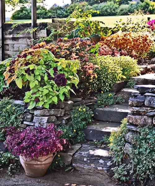 'Bone Fish' Coleus Borders Garden Steps