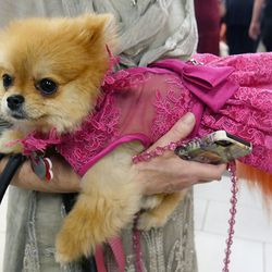 This Pomeranian was looking pretty in pink.