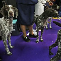 German shorthaired pointers wait to enter the ring.| AP file photo