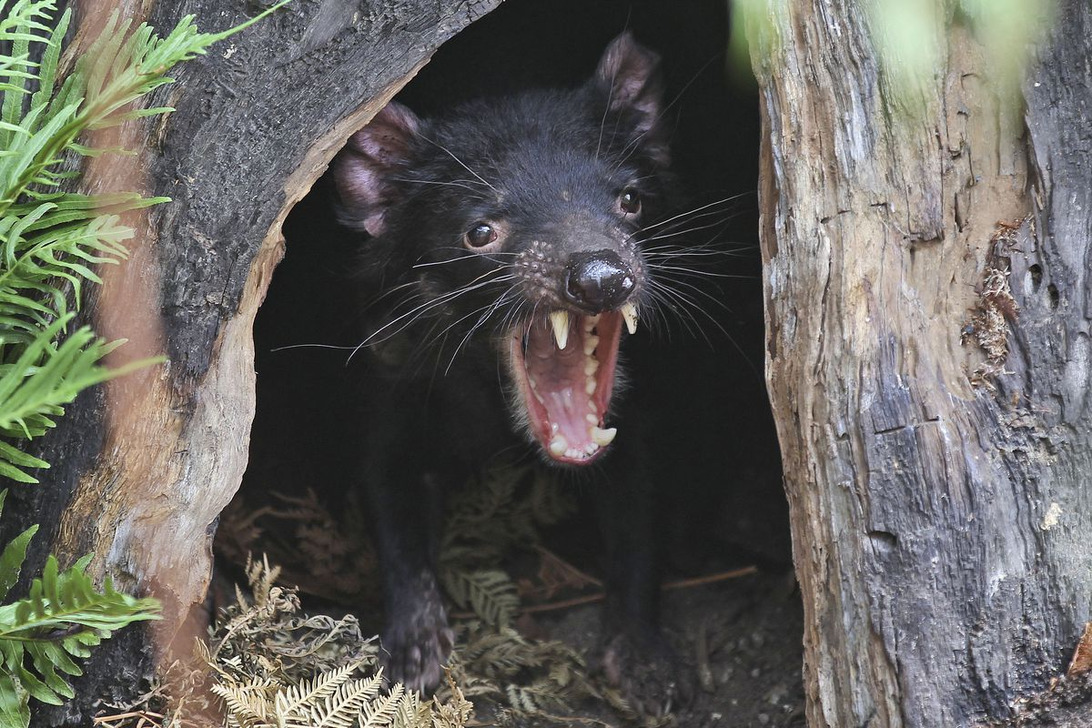 Big John the Tasmanian devil growls from the confines of his tree house.