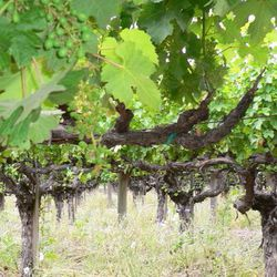 """Old Vine Cabernet planted on the property in the mid 70s [Source: <a href=""""http://www.flickr.com/photos/jurvetson/21706875/"""">Flickr/Jurvetson</a>]"""
