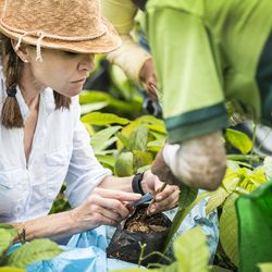 Dana Brewster, a co-founder of Millcreek Cacao Roasters in Salt Lake City, grafts delicate cacao plants onto hardier stock in Nicaragua in 2016. The grafting process increases the strength of the delicate cacao plants.