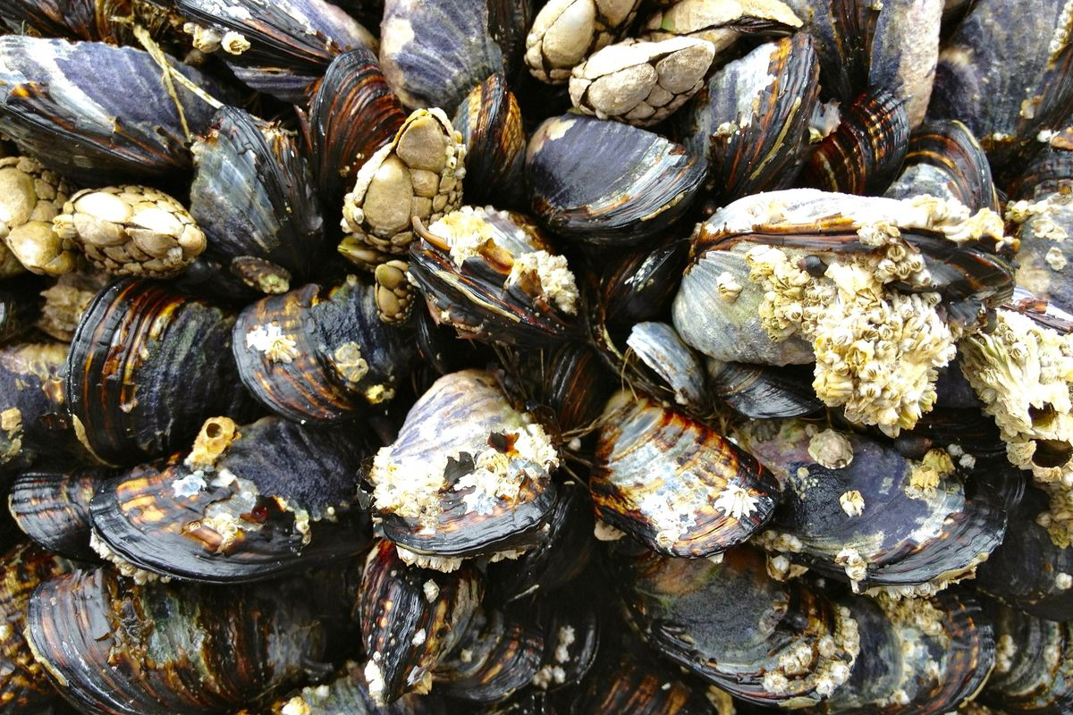 Zebra mussels blamed for stinky water in Austin  Here's what