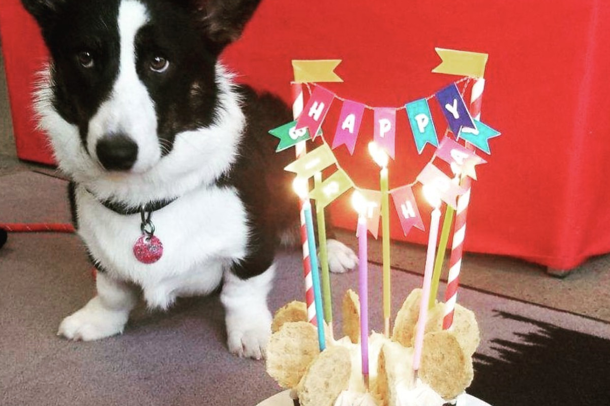 A corgi mix next to a birthday cake with candles lit.