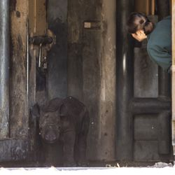A Lincoln Park Zoo staffer attempts to coax an eastern black rhinoceros calf, born on May 19, to his outdoor habitat for the first time, Tuesday morning, June 18, 2019.