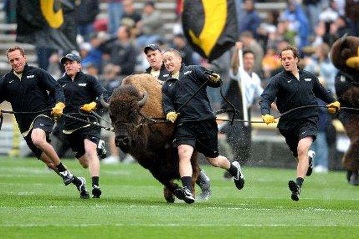 Ralphie gets some exercise in the 2009 CU spring game on Saturday. Photo: Cliff Grassnick
