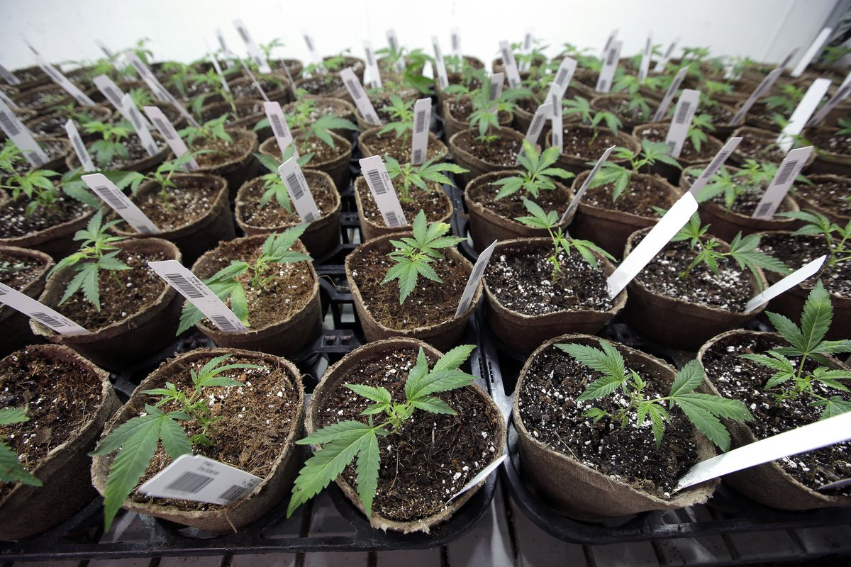 Newly transplanted cannabis cuttings grow in soilless media in pots on Thursday, July 12, 2018, at Sira Naturals medical marijuana cultivation facility, in Milford, Mass.