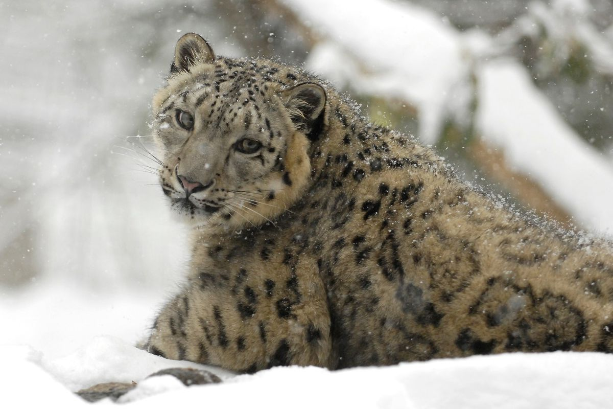 Print Snow Leopard Facts Lesson For Kids Worksheet
