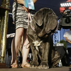 Martha, a Neapolitan mastiff, stands on stage after winning the World's Ugliest Dog Contest at the Sonoma-Marin Fair on Friday, June 23, 2017, in Petaluma, Calif. Martha is owned by Shirley Zinder, of Sebastopol, Calif.