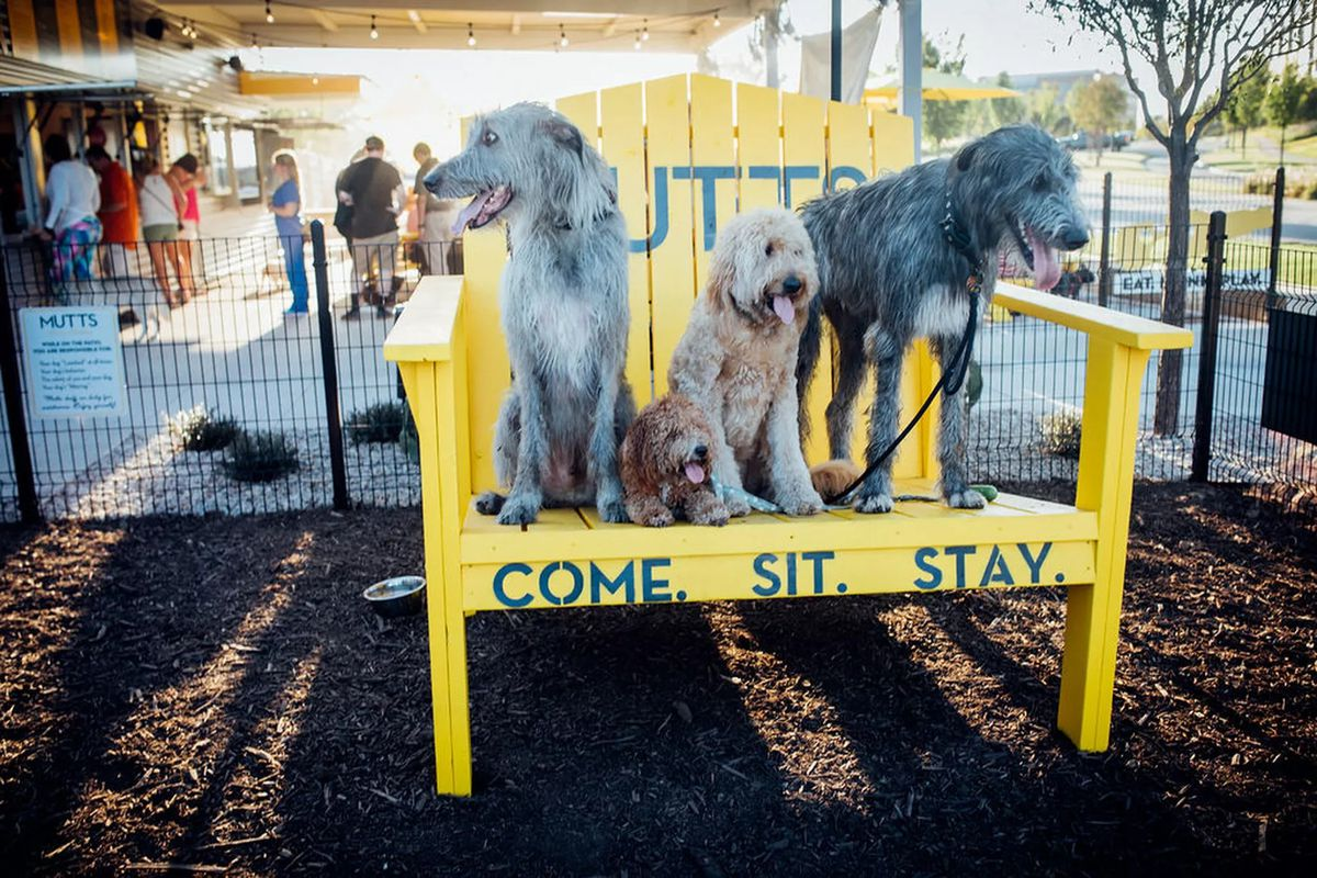 """Three dogs stand on the seat of a massive yellow   chair painted with the words """"Come, Sit. Stay."""" at Mutt's Canine Cantina in Dallas"""