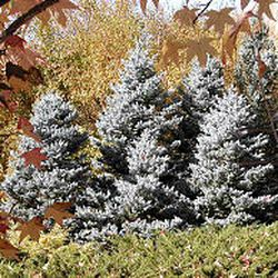 Pine trees at Red Butte Garden. Many trees look good when small, but as they mature they can dwarf yards.