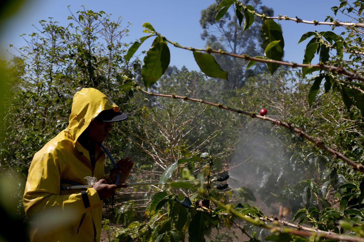 The Coffee Economy In Costa Rica