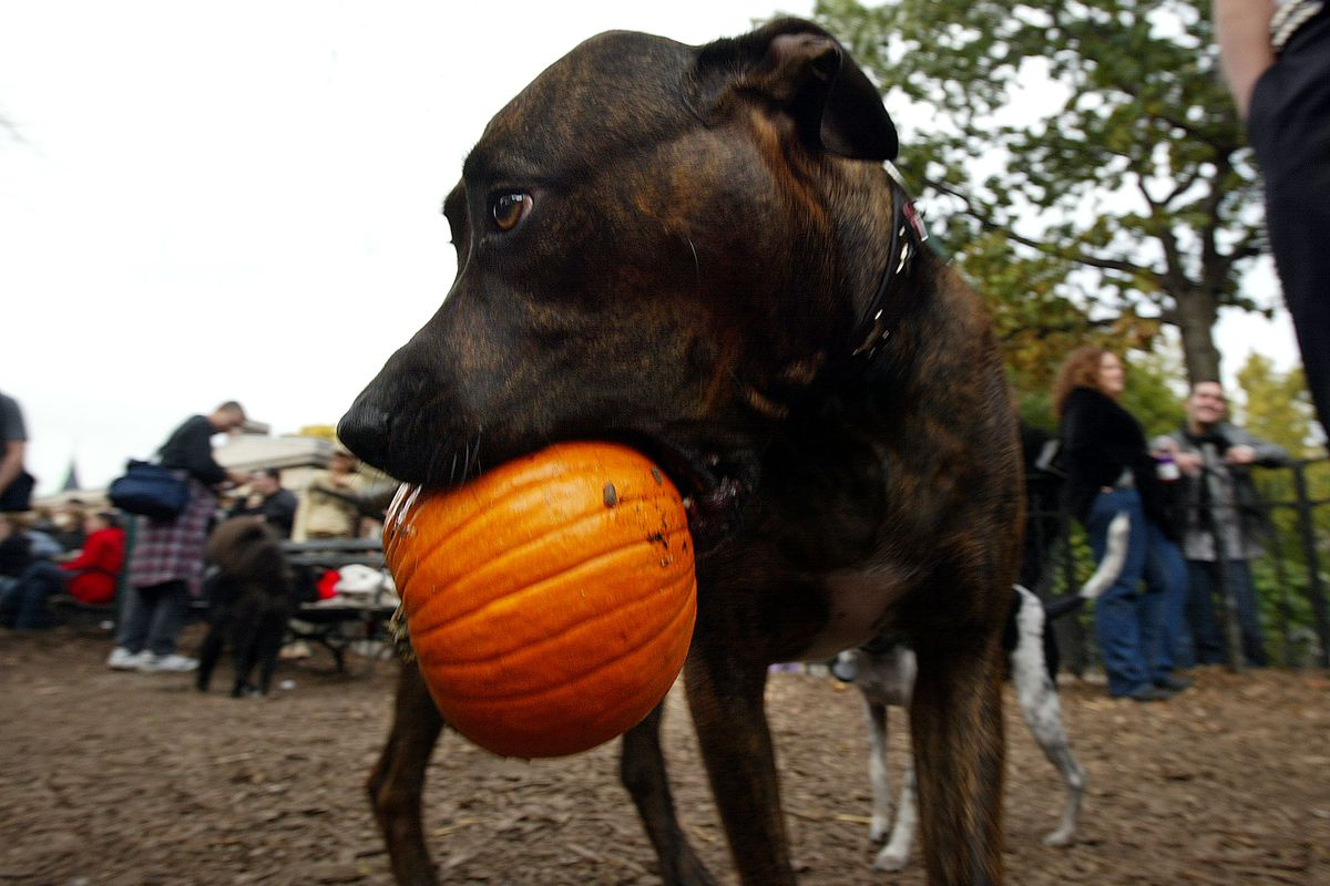 Dog Halloween Parade in NYC
