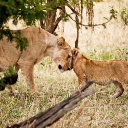 A tender moment between mother and son….On my last day, only a few hundred yards from the airstrip that would welcome my plane back to Arusha, my driver and I came upon this beautiful lioness and her 3 cubs near the side of the road. They'd just feast