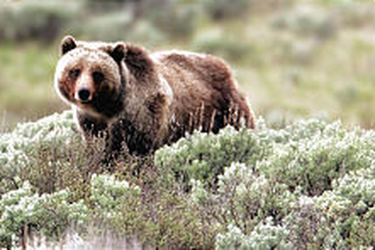 Grizzly bears in and around Yellowstone National Park will be removed from the endangered species list after 30 years of federal protection.