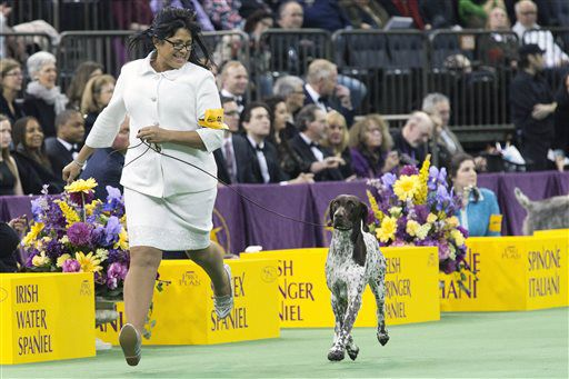 C J in the ring during the sporting group competition at the 140th Westminster Kennel Club dog show Tuesday. | Mary Altaffer/AP