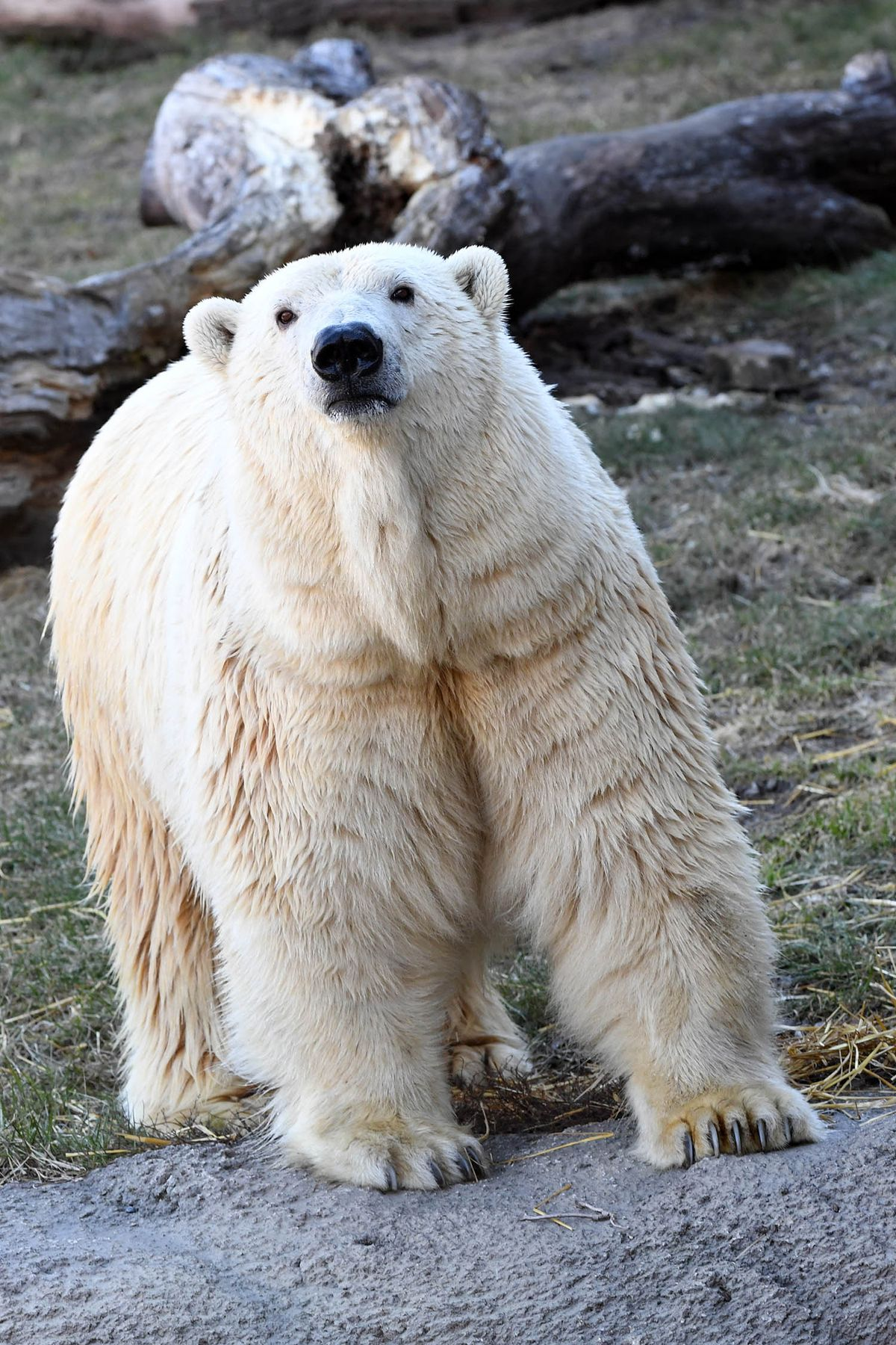 Zoo officials are hoping Nan will make a love connection with male polar bear Hudson.   Jim Schulz/Chicago Zoological Society
