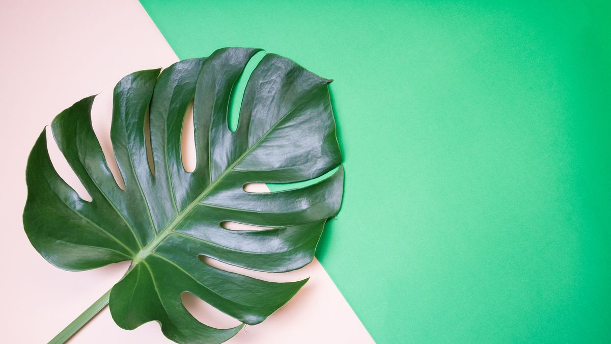 The Monstera Deliciosa, or Swiss Cheese Plant, Is Everywhere - Racked