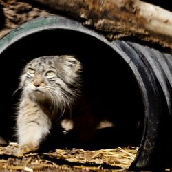 Hal, a Pallas' cat, peers cautiously from her outdoor enclosure at Utah's Hogle Zoo in Salt Lake City on Wednesday, March 31, 2021.