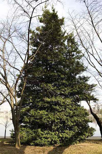 American Holly For Evergreen Privacy