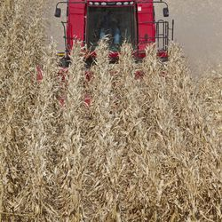 John Lamprecht of the Lamprecht Bros. harvests corn in Waterloo, Neb., Wednesday, Sept. 19, 2012. The Lamprecht brothers bought their combine in 2011, a bumper year for agriculture. The Census bureau is releasing new figures showing that Nebraska and Iowa's median income rose in 2011 compared to other states. A good year in agriculture is thought to be the reason.