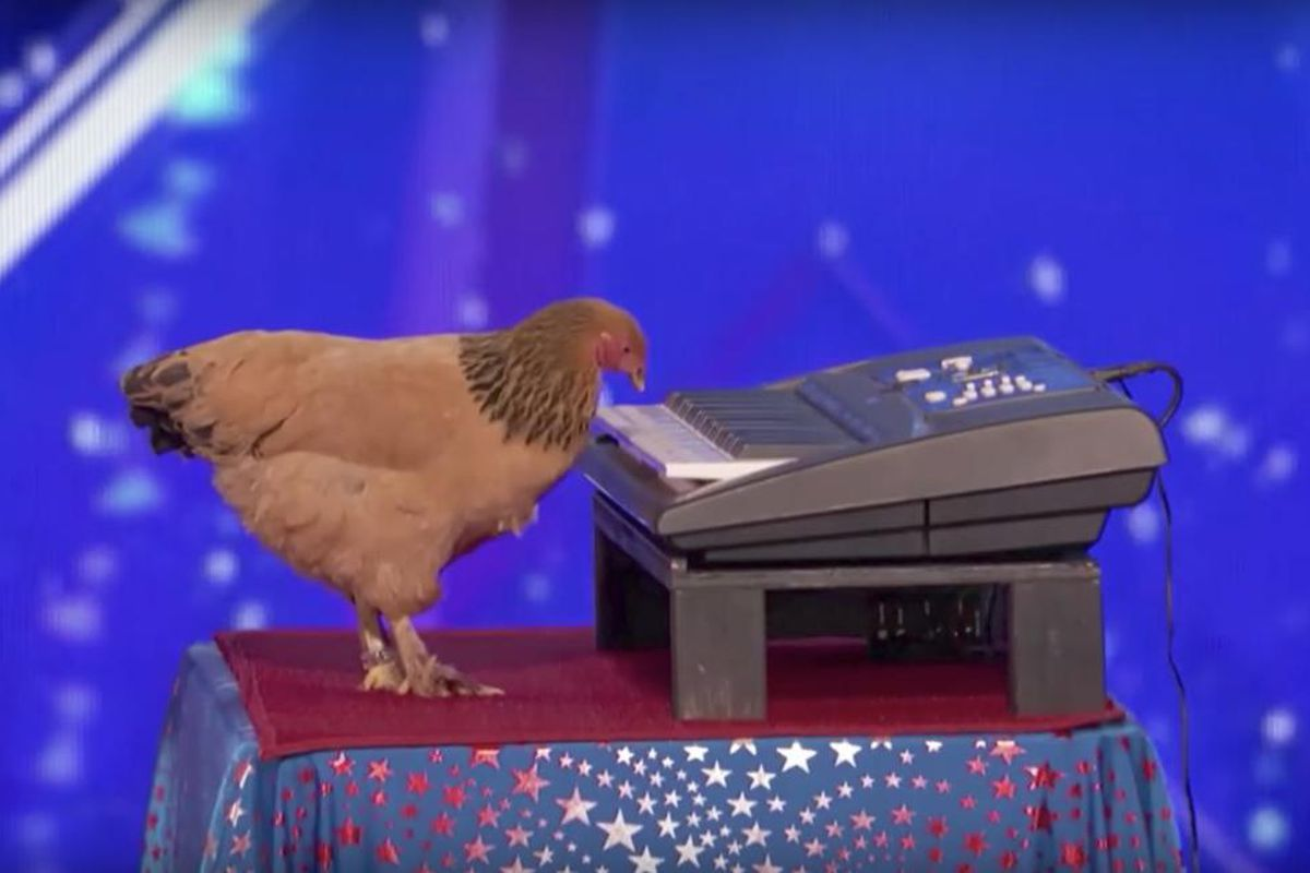 """Jokgu recently auditioned with its owners on NBC's """"America's Got Talent"""" by playing """"America the Beautiful"""" in front of judges Simon Cowell, Heidi Klum, Mel B and Howie Mandel. Although the bird had a difficult time starting out, as soon as it got going,"""