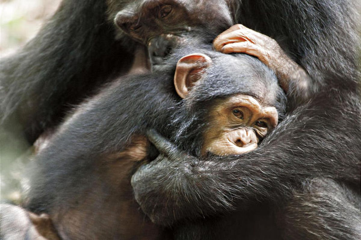 """In this film image released by Disney, chimpanzees Isha and Oscar, foreground, are shown during the filming of the documentary """"Chimpanzee."""" (AP Photo/Disney, Martyn Colbeck)"""
