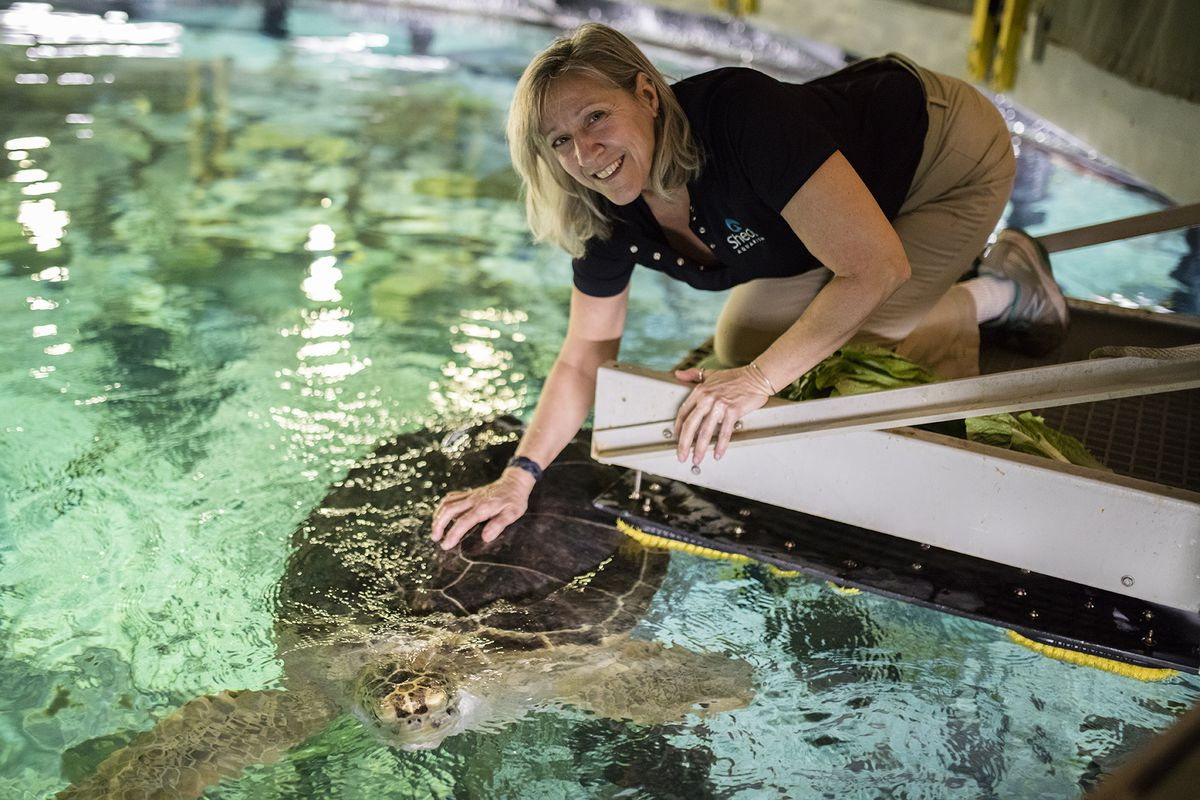 Rescued green sea turtle Nickel and trainer Michelle Sattler.   ©Shedd Aquarium/Brenna Hernandez