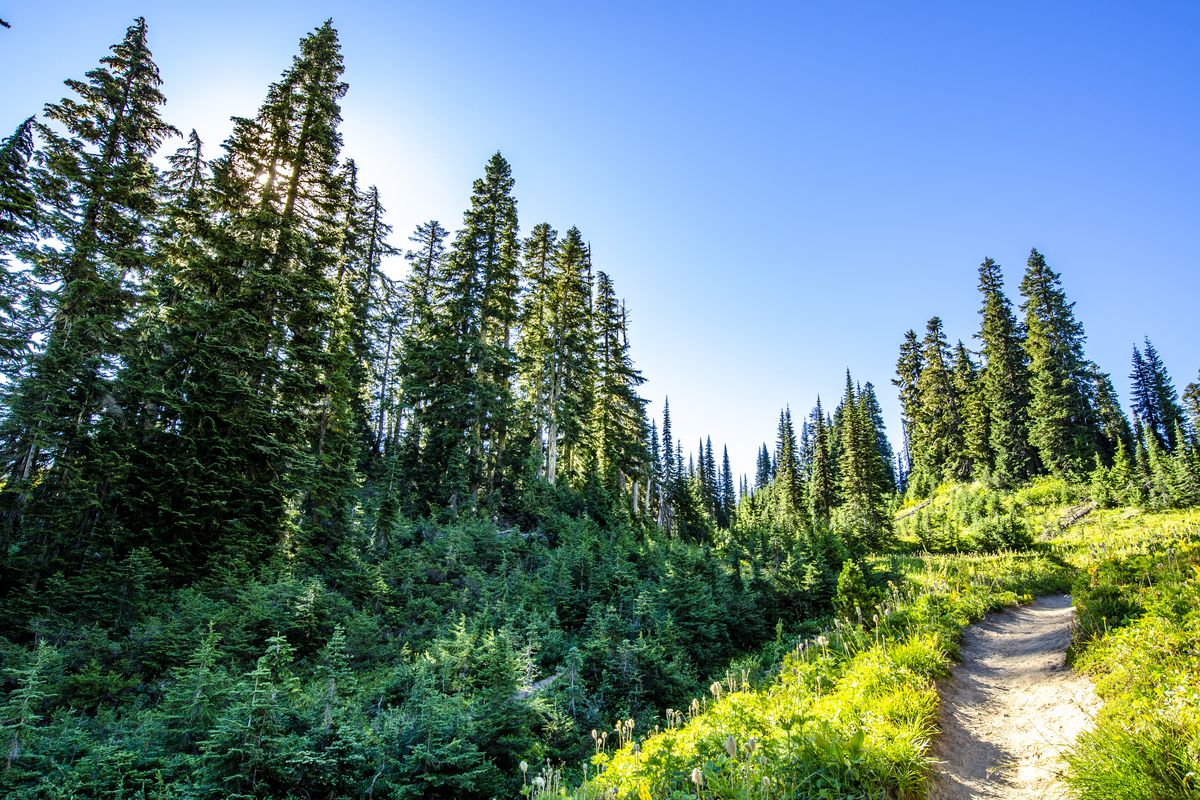 On a sunny day, a dirt trail winds up a grassy hill toward evergreen trees, Dense evergreen trees are to the left, too.
