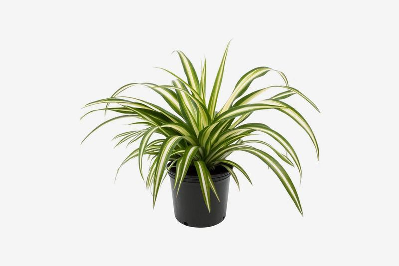 Black planter with spiky green and yellow leaves.