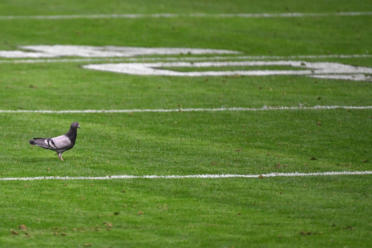 A Rock Dove (Columba livia) stands on the field in the second half of a game between the Indianapolis Colts and the Las Vegas Raiders at glass-domed Allegiant Stadium on December 13, 2020 in Las Vegas, Nevada. The Colts defeated the Raiders 44-27.