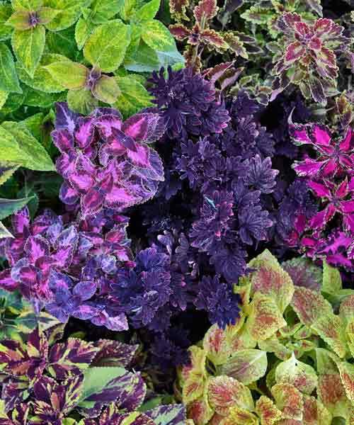 Midnight Rambler Coleus Plant