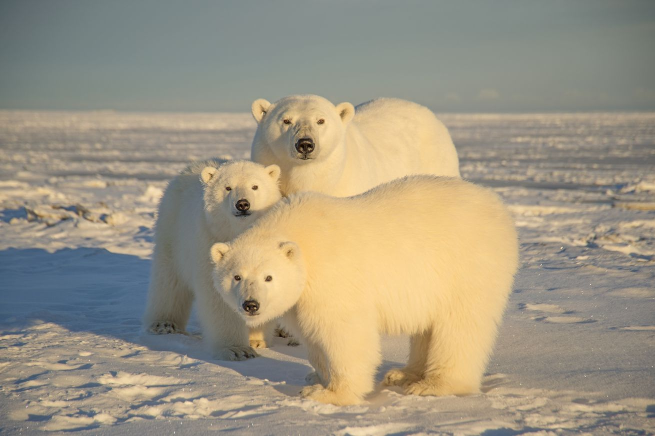 A polar bear seen with cubs at Arctic National Wildlife Refuge in 2014, in North Slope, Alaska.