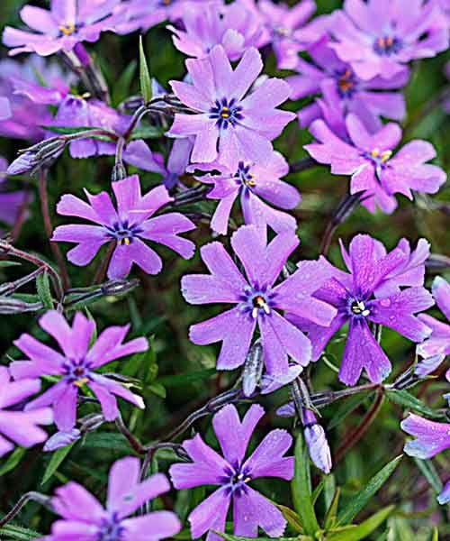 'Purple Beauty' Moss Phlox (Phlox subulata) Groundcover