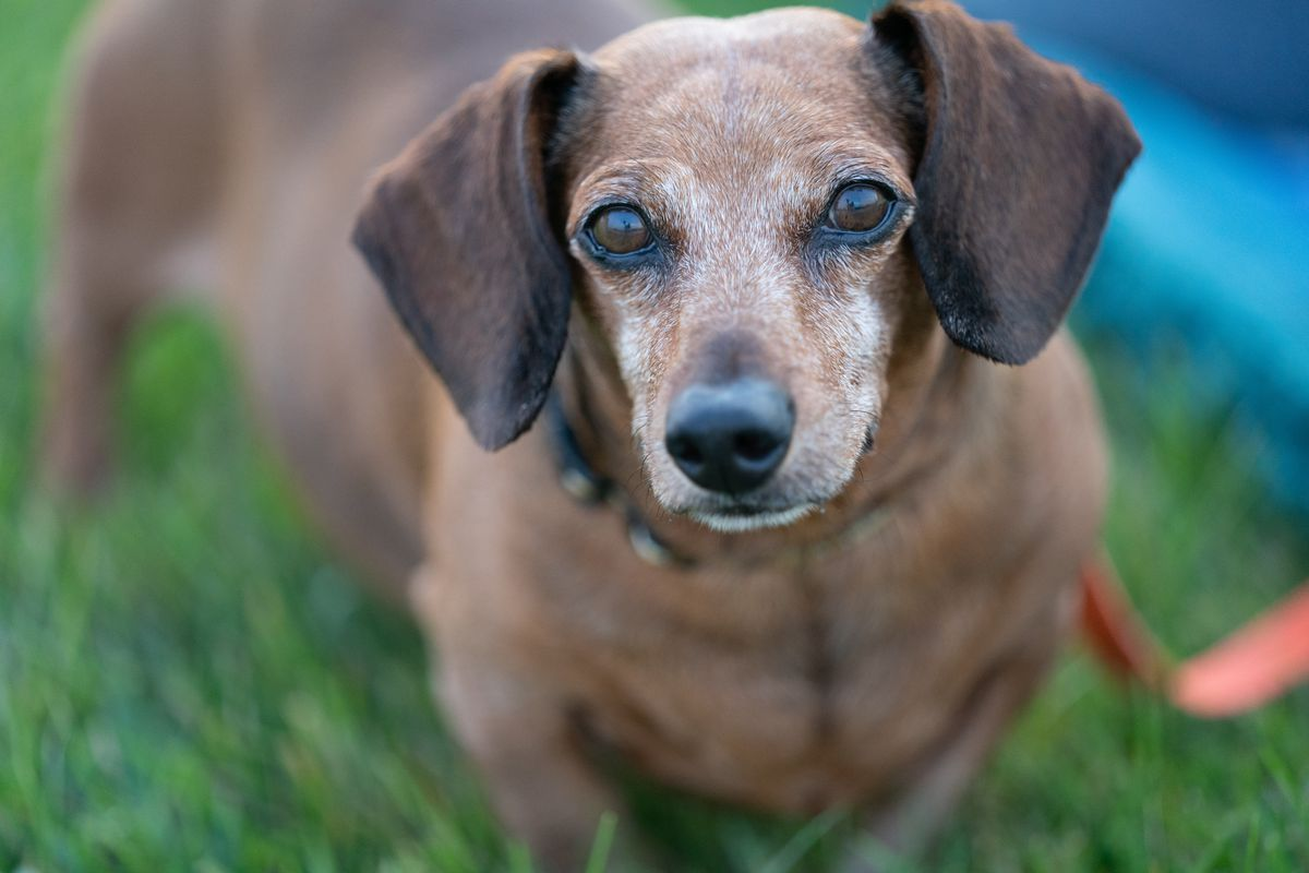 view from the front of an older Dachshund, with its white-speckled brown face and large dark brown ears in focus. Its long body stretches backward away from the in-focus area.