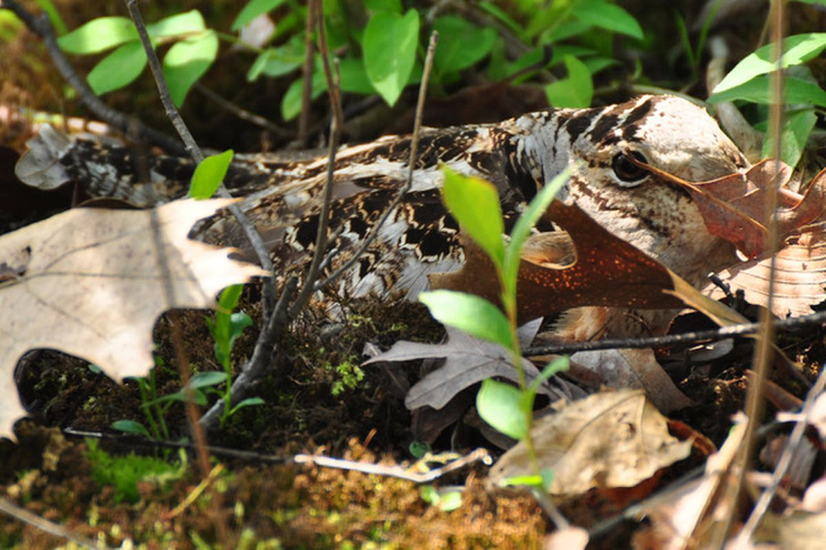 File photo of a woodcock sitting on a nest in a restored habitat in Somme Woods in Northbrook. Photo courtesy of Stephen Packard