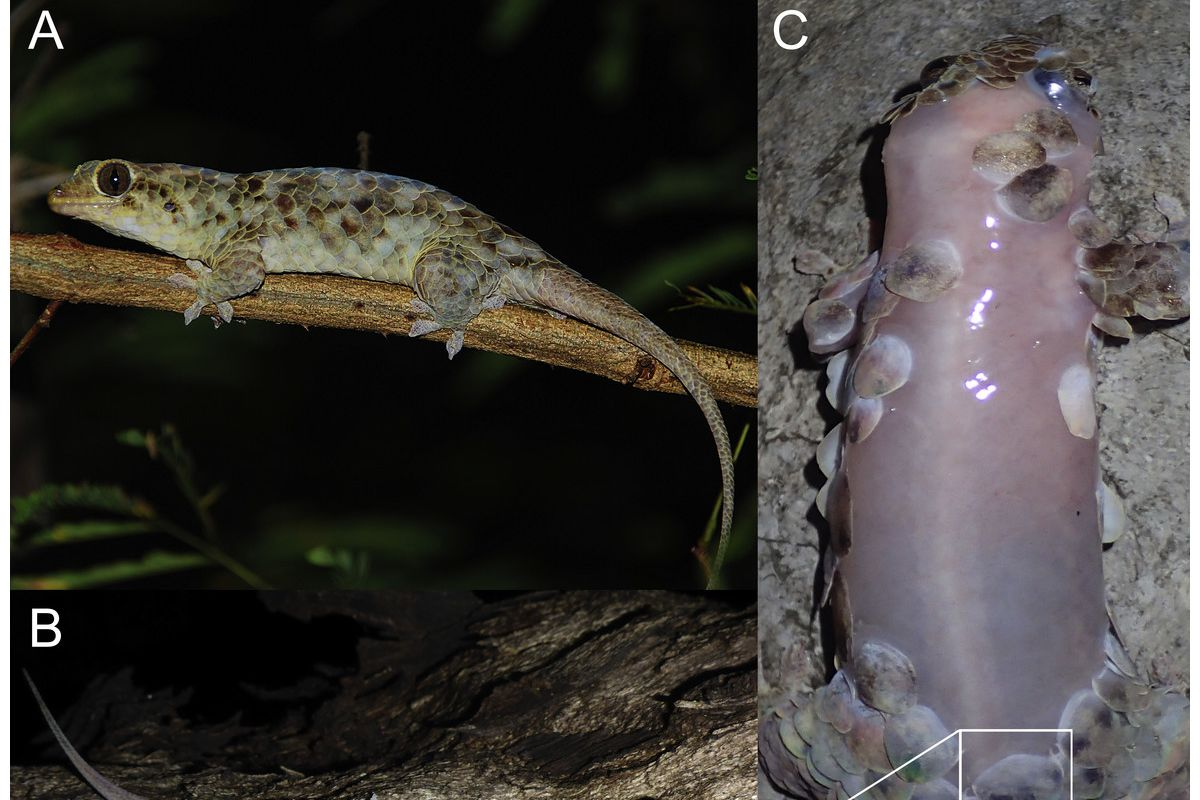 This Gecko Sheds Its Scales And Goes Butt Naked To Escape Predators